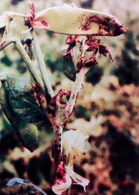 Темно-пятнистый аскохитоз гороха – Ascochyta pinodes фото