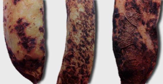 Пораженные бобы темно-пятнистым аскохитозом гороха – Ascochyta pinodes фото