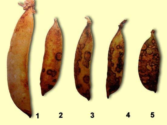 Шкала поражения бобов гороха бледно-пятнистым аскохитозом - Ascochyta pisi фото