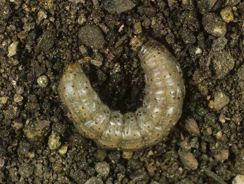 Гусеница Озимой совки - Scotia segetum (agrotis segetum) фото