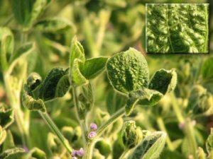 Морщинистая мозаика сои - Soybean mosaic virus фото