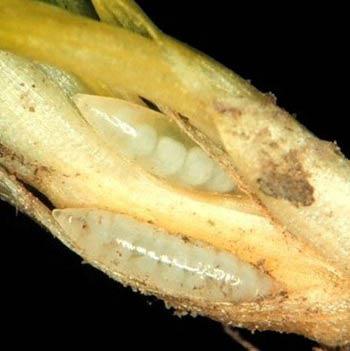 Личинка Гессенской мухи