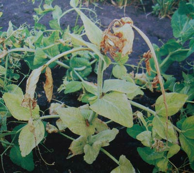 Симптомы сосудистого бактериоза на верхушках молодых растениях гороха