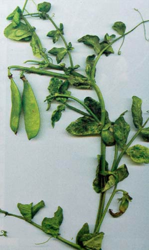 Деформирующая мозаика гороха – Pea enation mosaic virus фото