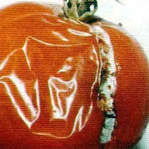 Пенициллез плода томата фото
