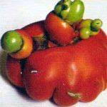 Гипертрофия плодов, семенных камер и мякоти плода фото