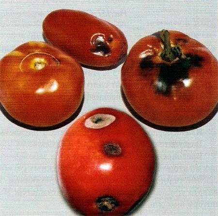 Пораженные плоды томата альтернариоза - Alternaria solani фото