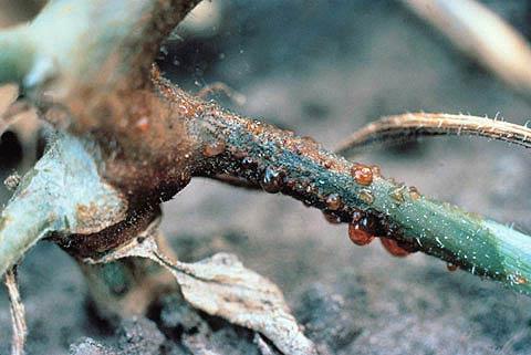 Аскохитоз огурца - Ascochyta cucumis выделение камеди фото
