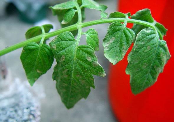 Пораженные листья томата серой гнилью - Botrytis cinerea фото