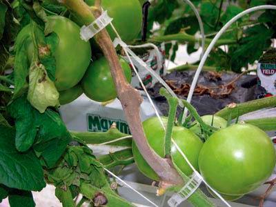 Пораженный стебель томата серой гнилью - Botrytis cinerea фото