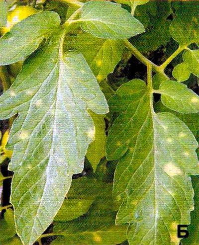 Кладоспориоз томата Cladosporium fulvum - фото