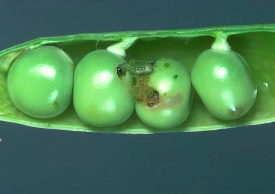 Гусеница гороховой плодожерки – Laspeyresia nigricana фото