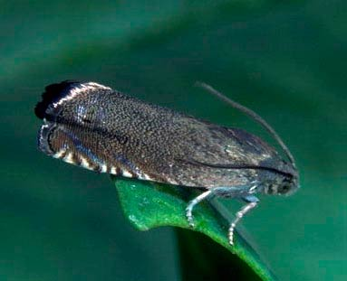 Гороховая плодожерка – Cydia nigricana фото