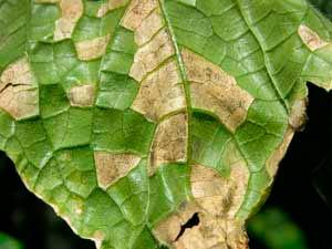 Нижняя сторона пораженного листа ложной мучнистой росой огурца - Pseudoperonospora cubensis фото