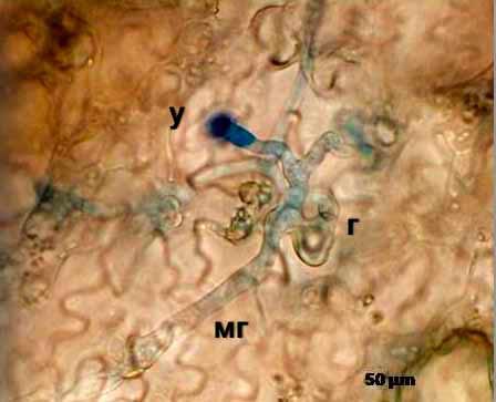 Пероноспороз огурца - Pseudoperonospora cubensis