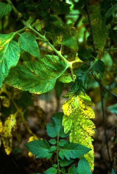 Cепториоз томата - Septoria lycopersici фото