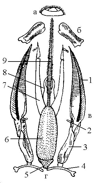 Грызуще-лижущий ротовой орган