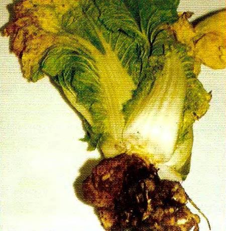 Кила капусты - Plasmodiophora brassicae фото