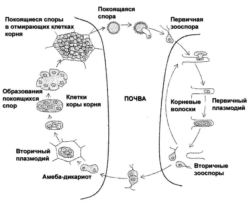 Цикл развития килы капусты - Plasmodiophora brassicae фото