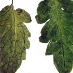 Изменение окраски жилок обусловлено развитием микоза фото