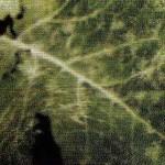 Мучнистая роса на листе краснокочанной капусты фото