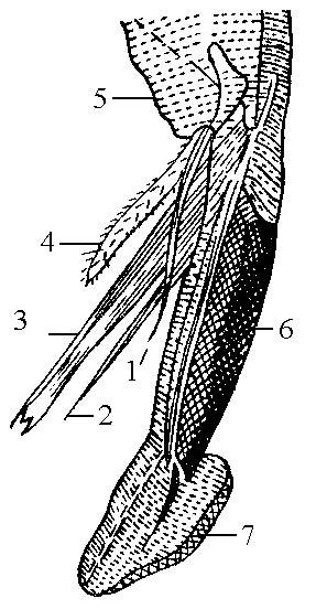 Положение лаббелум мускоидного ротового аппарата