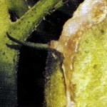 Некроз сердцевины стебля томата (выделение экссудата) фото