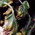 Ожог листьев, вызванный повышенной кислотностью почвы фото