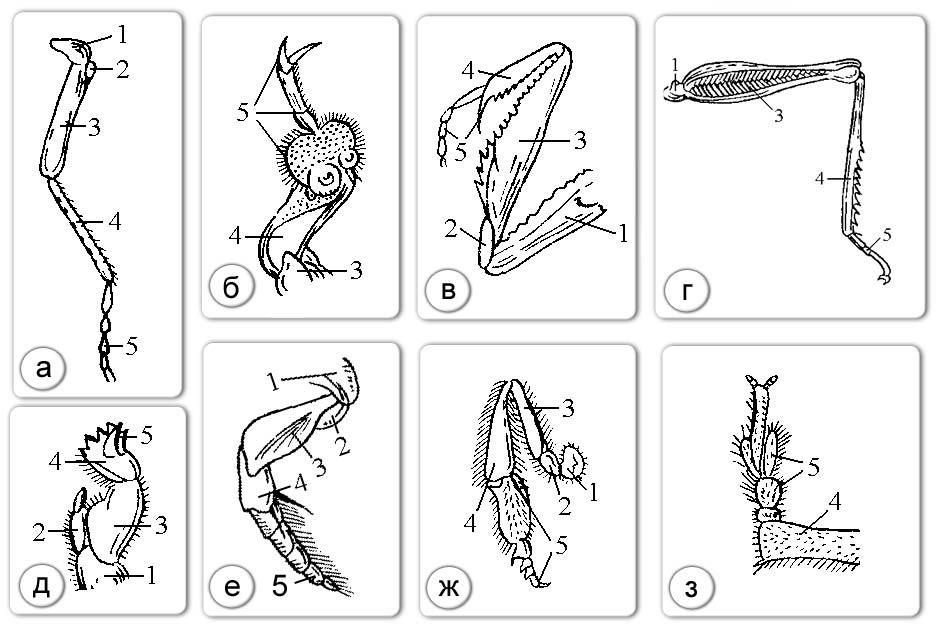 Строение и типы ног насекомых