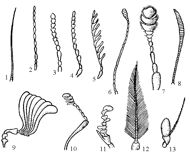 Типы усиков