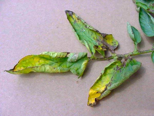 Пораженный лист томата бактериальным раком Clavibacter michiganensis