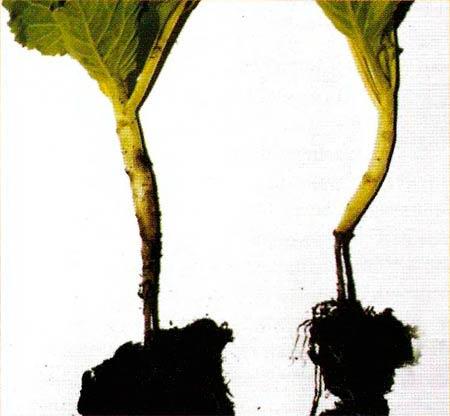 Черная ножка капусты фото