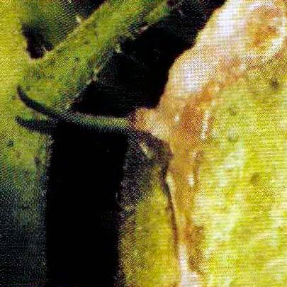 Рис. 2. Некроз сердцевины стебля томата (выделение экссудата)