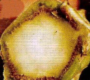 Поперечный срез стебля капусты пораженного фузариозом фото