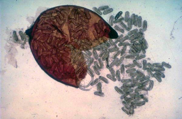 Выход яиц Heterodera schachtii из цисты