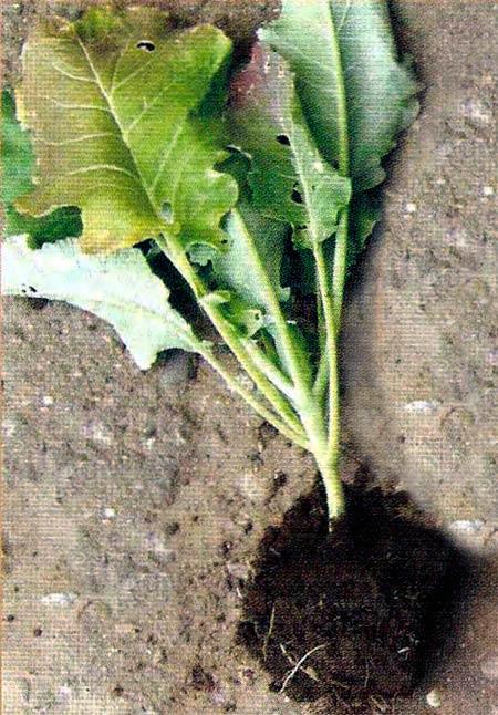 Рис. 1. Гетеродероз капусты