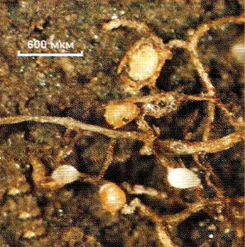 Рис. 3. Цисты Heterodera schachtii Schmidt