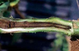Рис. 1. Мокрая гниль томата, пораженный стебель фото