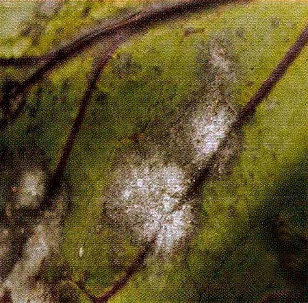 Мучнистая роса капусты фото
