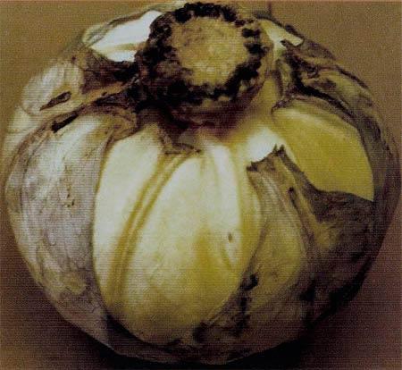 Ризоктониоз капусты фото