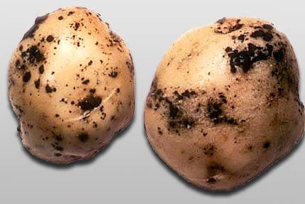 Ризоктониоз картофеля - Rhizoctonia solani фото