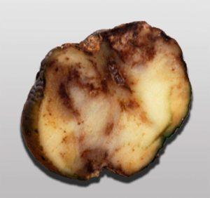 Фитофтороз картофеля - Phytophthora infestans фото
