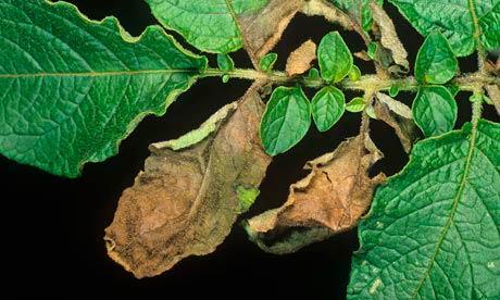 Фитофтороз картофеля (пораженный лист) - Phytophthora infestans фото
