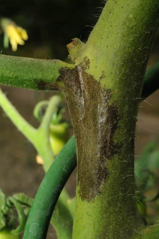 Фитофтороз картофеля (пораженный стебель) - Phytophthora infestans фото