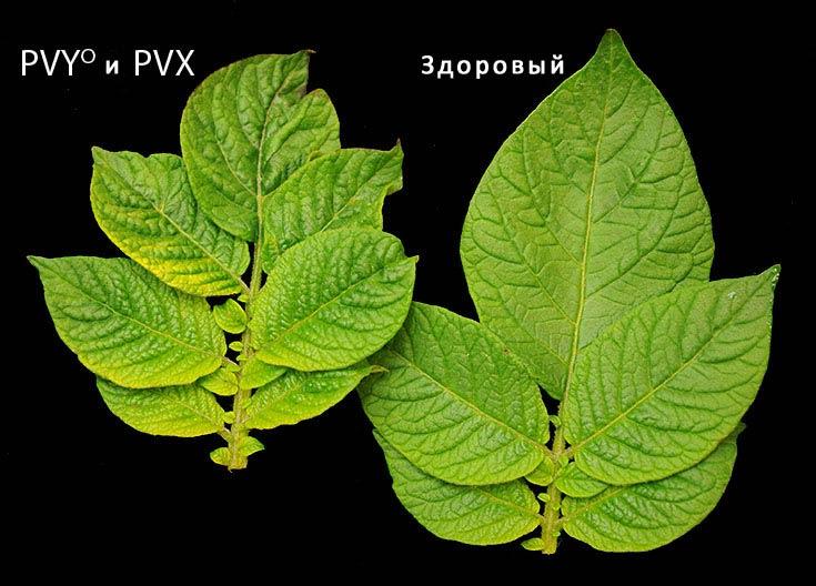 Лист пораженный PVY и PVX рядом со здоровым листом фото