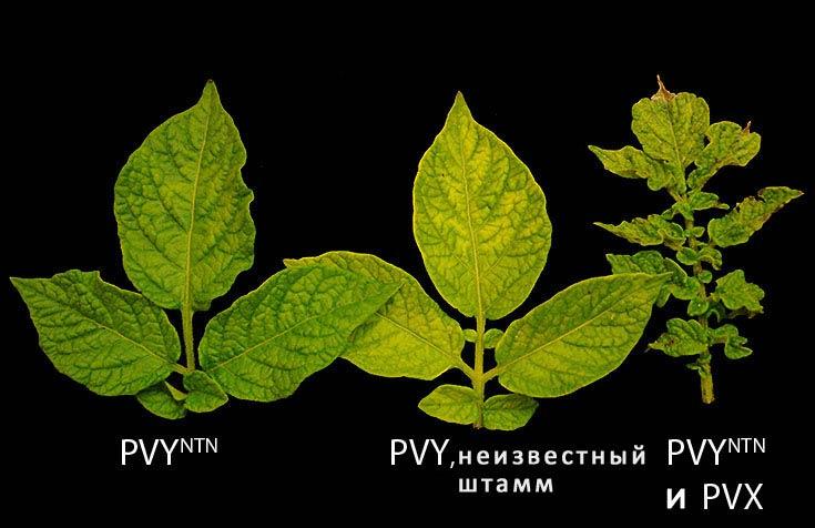 Мозаика картофеля PVY и PVX фото