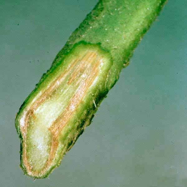 Стебель картофеля пораженный фузариозом фото