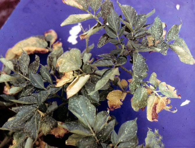 Вертициллез картофеля (пораженное растение) - Verticillium albo-atrum фото