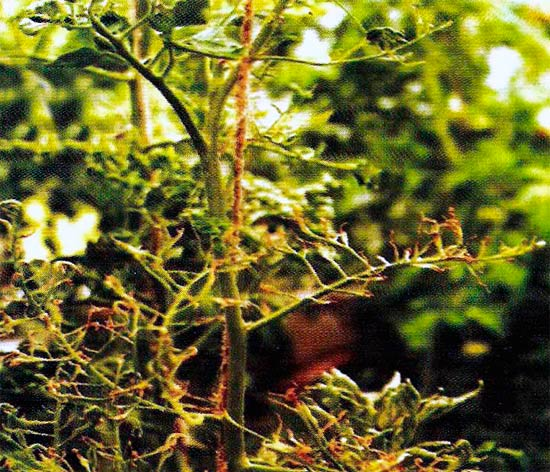 Рис. 1. Аспермия томата Tomato aspermy cucumovirus фото