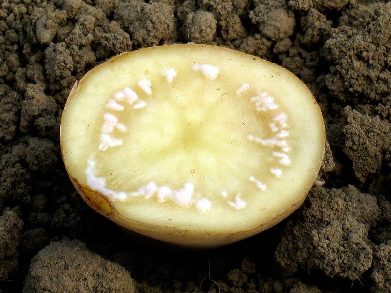 Бурая бактериальная гниль картофеля фото